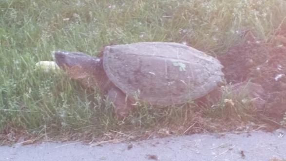 Momma Turtle