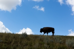 The beautiful buffalo at Theodore Roosevelt National Park www.usathroughoureyes.com