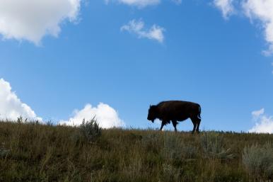 The beautiful buffalo at Theodore Roosevelt National Park www.usathroughoureyes.com