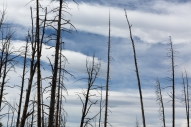 As seen throughout our travels, the remains of trees after forest fires in Yellowstone National Park