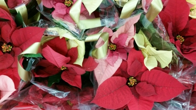 Poinsettias For Christmas, www.usathroughoureyes.com