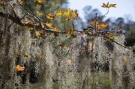 Spanish moss hanging down in John Chesnut Senior Park, Tarpon Springs, FL. / Tarpon Springs, FL / ©2016 Audrey Horn / www.usathroughoureyes.com