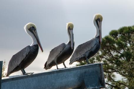 Pelicans of Tarpon Springs FL. www.usathroughoureyes.com