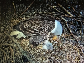 Eagle cam view of eaglet born this day.