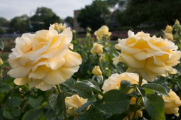 Maplewood Rose Garden 2017. www.usathroughoureyes.com